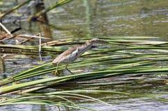 Маленькое minutus Ixobrychus выпи Стоковые Изображения RF