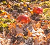 Маленькое muscaria мухомора гриба 2 Стоковое фото RF