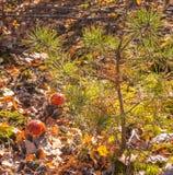 Маленькое muscaria мухомора гриба 2 Стоковое Фото