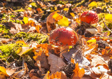 Маленькое muscaria мухомора гриба 2 Стоковые Фото