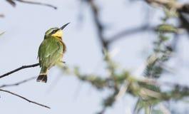 Маленькое pusillus Merops Пчел-едока садилось на насест на ветви Стоковое Фото