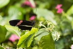 Малиновая бабочка Longwing Стоковое Изображение