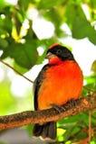 Малиновая-breasted птица зяблика на ветви, Флориде Стоковое Изображение