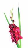 Малиновый изолированный цветок гладиолуса Стоковое фото RF