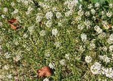 Малое белое растущее полевых цветков на луге стоковое фото rf