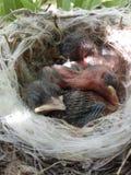 Малое гнездо цыпленоков Стоковое Фото