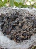 Малое гнездо цыпленоков Стоковая Фотография