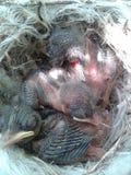 Малое гнездо цыпленоков Стоковое фото RF