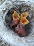 Малое гнездо цыпленоков Стоковая Фотография RF