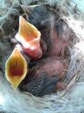 Малое гнездо цыпленоков Стоковое Изображение