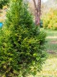 Малое дерево, желтый цвет и зеленый цвет туи запачкают предпосылку Стоковое Изображение RF