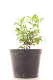 Малое дерево растя в пластичных баках Стоковые Фото