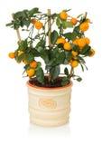 Малое дерево tangerines на белой предпосылке Стоковое Изображение
