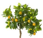 Малое дерево tangerines на белой предпосылке Стоковая Фотография