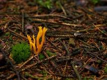 Малое желтое flava Ramaria гриба Стоковые Фотографии RF