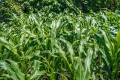 Малое земледелие кукурузного поля green nature Сельское сельскохозяйственное угодье в s Стоковое Изображение RF