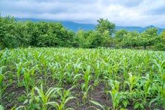 Малое земледелие кукурузного поля green nature Сельское сельскохозяйственное угодье в s Стоковая Фотография RF