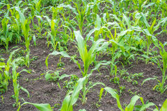 Малое земледелие кукурузного поля green nature Сельское сельскохозяйственное угодье в s Стоковое фото RF