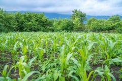 Малое земледелие кукурузного поля green nature Сельское сельскохозяйственное угодье в s Стоковые Изображения RF
