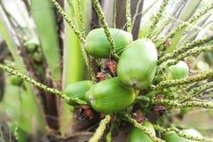 Малое здоровое растущее плодоовощей кокоса младенца от стержня Стоковая Фотография RF