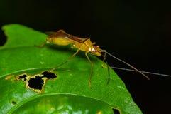 Малое красное насекомое сидя на зеленых лист в тропическом лесе Амазонки в национальном парке Cuyabeno, в эквадоре Стоковая Фотография RF