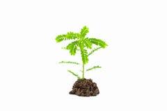 Малое молодое зеленое растение на белой предпосылке, в зависимости от так Стоковая Фотография
