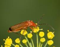 Малое насекомое в природе Макрос Стоковое Фото