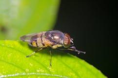 Малое насекомое мухы в саде Стоковая Фотография