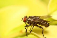 Малое насекомое мухы Стоковая Фотография