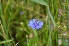 Малое насекомое на голубом маке Стоковые Фотографии RF