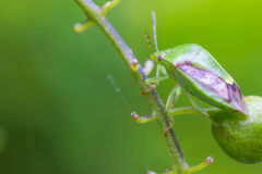 Малое насекомое на зеленой ветви Стоковая Фотография RF