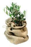 Малое оливковое дерево в сумке Стоковое фото RF