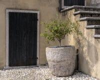 Малое оливковое дерево Стоковое Изображение RF