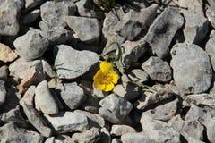 Малое растущее цветка между камнями Стоковая Фотография RF