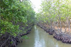 Малое река в лесе мангровы Стоковые Фото