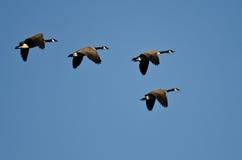 Малое стадо гусынь Канады летая в голубое небо Стоковое Изображение