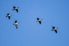 Малое стадо гусынь Канады летая в голубое небо Стоковое Фото