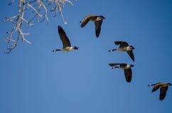 Малое стадо гусынь Канады летая в голубое небо Стоковое Изображение RF