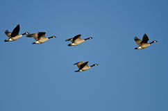 Малое стадо гусынь Канады летая в голубое небо Стоковые Фотографии RF