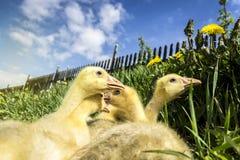 Малое Gooses на траве и одуванчике с голубым небом стоковое фото rf