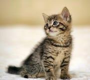 Малое striped усаживание котенка Стоковые Фотографии RF