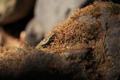 Малое uzzelli Darevskia ящерицы леса Стоковые Изображения RF