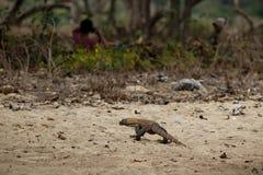 Малолетка дракона Komodo с местными людьми в красивой среде обитания природы Стоковая Фотография RF