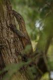 Малолетка Komodo Стоковое Фото