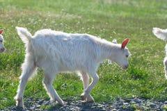 Малые белые козы маршируя в ряд Стоковое фото RF