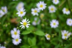 Малые белые цветки в зеленом саде Стоковые Фото