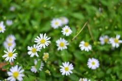 Малые белые цветки в зеленом саде Стоковая Фотография