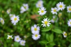 Малые белые цветки в зеленом саде Стоковая Фотография RF