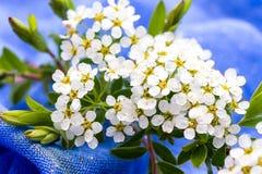 Малые белые цветки запачканные на голубой предпосылке Стоковое Изображение RF