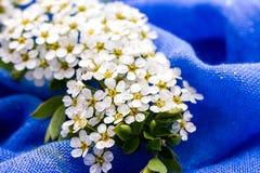 Малые белые цветки на голубой предпосылке Стоковые Фотографии RF
